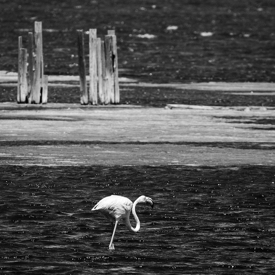Flamingo bei Cagliari, Sardinien