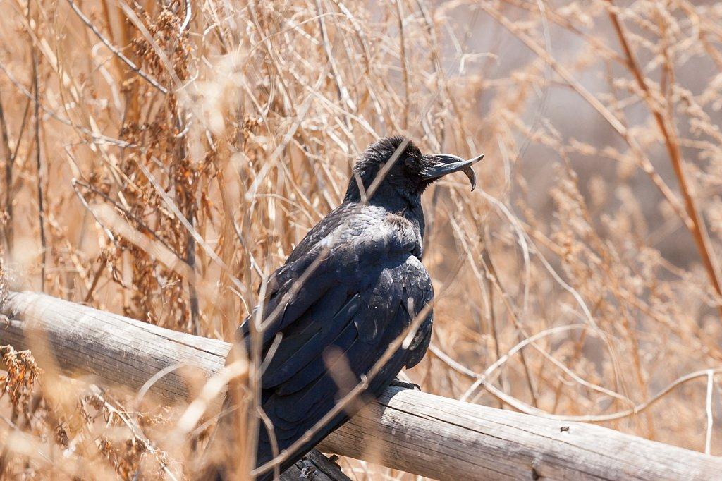 Rabe ∙ Raven, Bhutan
