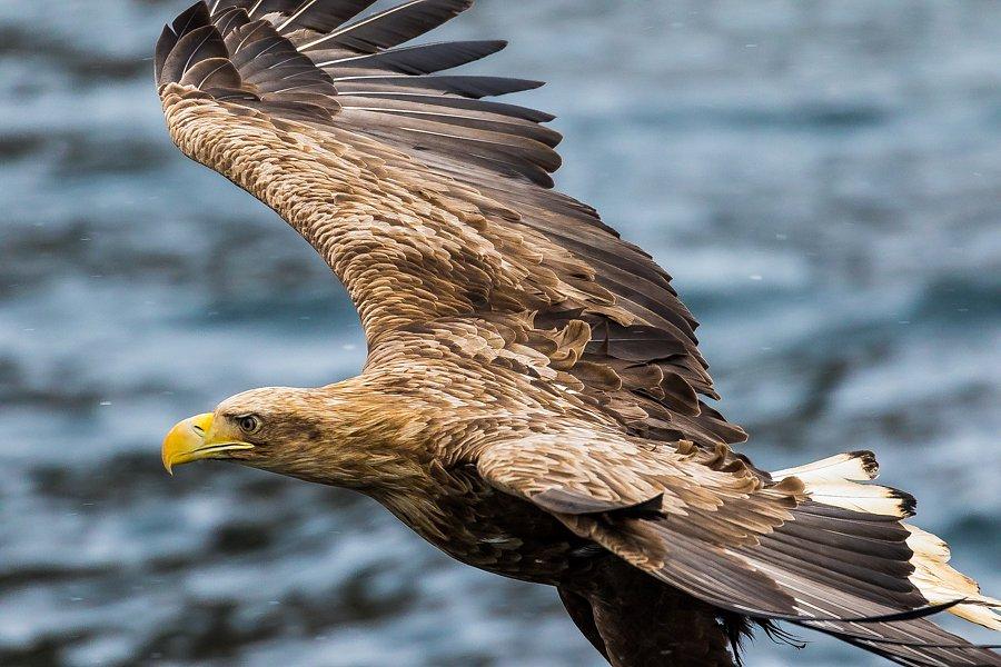 Greif (Seeadler, Lofoten)